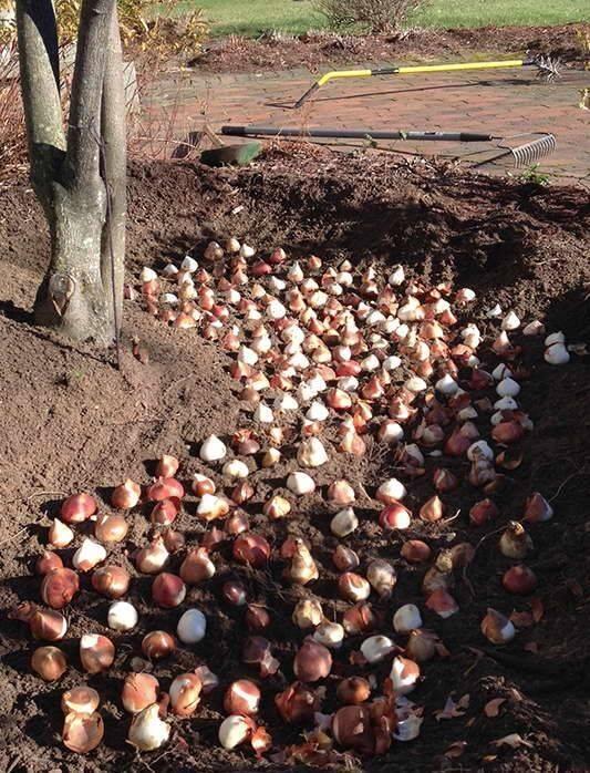 Посадка и уход осенью за тюльпанами в открытом грунте