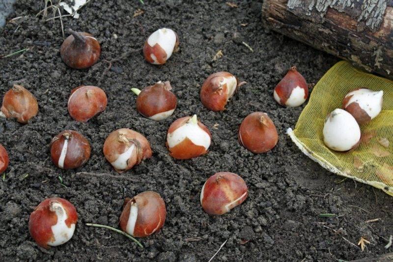 Тюльпаны: посадка и уход в открытом грунте после и до цветения, когда высаживать?