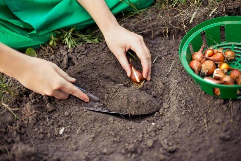 Луковицы тюльпанов (37 фото): когда их сажать и как выращивать? когда выкапывать клубни и как хранить их зимой? как посадить и вырастить дома? можно ли спасти замерзшие луковицы?