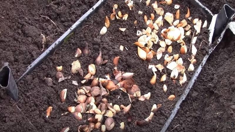 Тюльпаны: высадка в весеннее время года | cельхозпортал