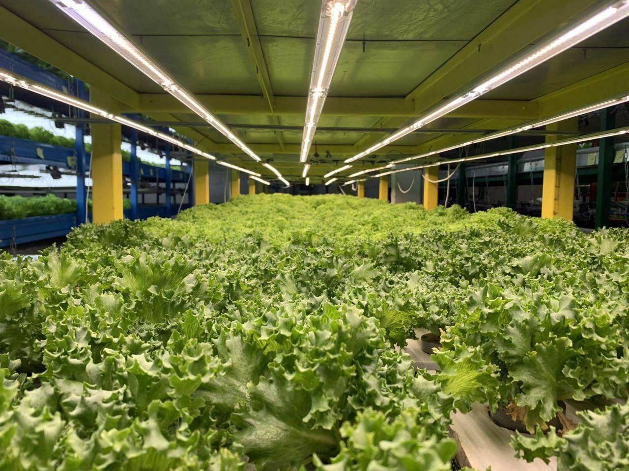 Какое освещение должно быть в теплице для выращивания огурцов, помидоров, и салата