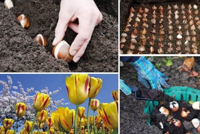 Посадка тюльпанов весной 2020: когда и как правильно посадить