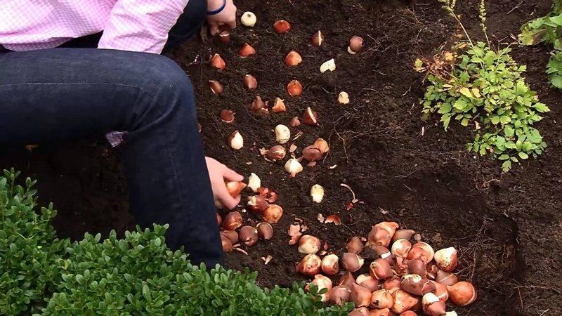 Тюльпаны: посадка и уход в открытом грунте, фото c сортами и названиями