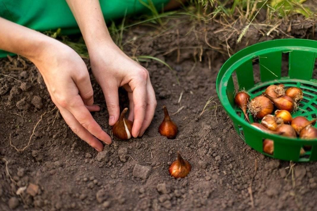 Тюльпаны: основные принципы выращивания | cельхозпортал