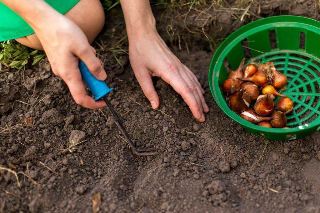 Посадка тюльпанов весной - когда и как посадить в открытый грунт или горшки