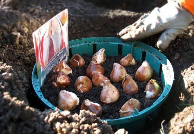 Что посадить на участке после того, как тюльпаны отцвели | cельхозпортал