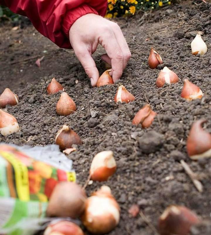 Тюльпаны - посадка и уход в открытом грунте, фото